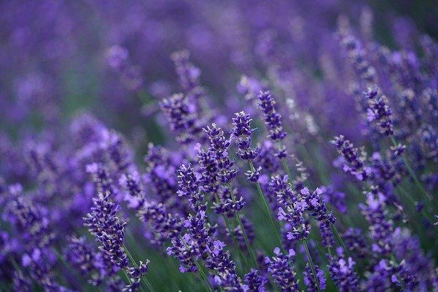 beruhgender Lavendel